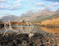 Łosiów poroże - Yellowstone np obrazy stock