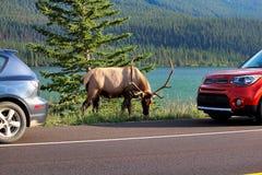 Łosia byk wzdłuż autostrady jako turystyczni pojazdy zatrzymuje niebezpiecznie blisko do go Obraz Stock
