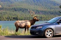 Łosia byk wzdłuż autostrady jako turystyczni pojazdy zatrzymuje niebezpiecznie blisko do go Zdjęcia Stock