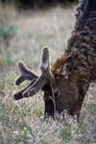 łosia park narodowy Yellowstone Obraz Royalty Free