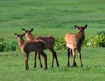 Łosia trzy Źrebięcia Fotografia Royalty Free