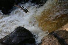 Łososiowy skok zdjęcie royalty free