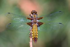 łowcy łowca szeroki dragonfly obrazy royalty free