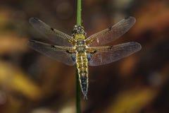 łowcy cztery libellula quadrimaculata dostrzegający zdjęcia stock