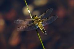 łowcy cztery libellula quadrimaculata dostrzegający fotografia stock