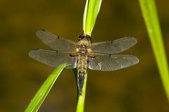 łowcy cztery libellula quadrimaculata dostrzegający obrazy stock