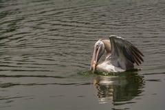 Łowić: Dostrzega wystawiającego rachunek pelikana z chwytem - Pelecanus philippensis fotografia royalty free