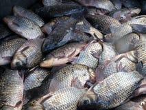 łowi świeżego Zdjęcie Stock