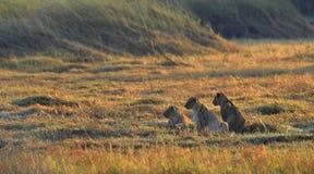 łowieccy lwów mum czekania potomstwa obrazy stock
