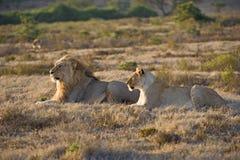 łowieccy lwy zdjęcie royalty free