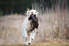 Łowiecki golden retriever pies niesie bażanta Fotografia Royalty Free