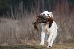Łowiecki golden retriever pies niesie bażanta Obraz Stock