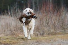 Łowiecki golden retriever pies niesie bażanta Obraz Royalty Free