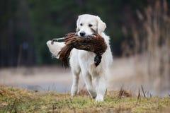 Łowiecki golden retriever pies niesie bażanta Obrazy Royalty Free