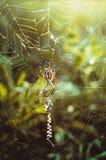 Łowiecki pająk w sieci Fotografia Stock