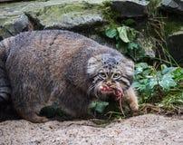 Łowiecki paliuszu ` s kot, także znać jako manul Zdjęcie Royalty Free
