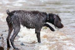 Łowiecki pies na rzece obrazy royalty free