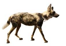Łowiecki pies. Odizolowywający nad bielem Obrazy Stock