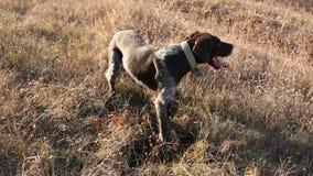 Łowieckiego psa wykopaliska szuka zdobycza, Niemiecki Łowiecki organ nadzorczy zdjęcie wideo