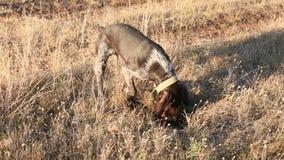 Łowieckiego psa wykopaliska szuka zdobycza, Niemiecki Łowiecki organ nadzorczy zbiory