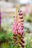 Łubinowi kwiaty Zdjęcia Stock