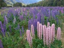 Łubinowy kwiat segregujący, naturalny krajobrazowy tło zdjęcia stock