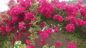 Łuk pięcie wzrastał, piękny wygodny domowy wnętrze, krajobrazu projekt, cudowni kwitnienie kwiaty zdjęcie wideo