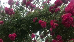 Łuk pięcie wzrastał, piękny wygodny domowy wnętrze, krajobrazu projekt, cudowni kwitnienie kwiaty zbiory wideo