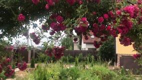 Łuk pięcie wzrastał, piękny wygodny domowy wnętrze, krajobrazu projekt, cudowni kwitnienie kwiaty zbiory