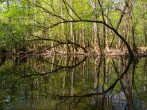Łukowaci drzewa Along Nawadniają krawędź, Cedrowa zatoczka, Congaree park narodowy Fotografia Stock