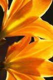 ŁUNA koloru żółtego Daffodils Obraz Royalty Free
