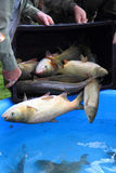 Łup karpiowe ryba Zdjęcie Royalty Free