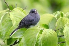 Łupkowy zmrok przyglądał się Junco ptasiego śpiew w Dereniowym drzewie Obrazy Stock