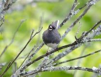 Łupkowy zmrok przyglądający się Junco ptaka śpiew Zdjęcie Royalty Free