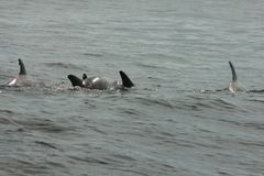 Łuska wyspę, Floryda strąka delfinów Panama miasto plaża zdjęcie royalty free