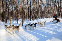 Łuskowaci psy ciągną saneczki przy pogodnym zima lasem Zdjęcia Royalty Free