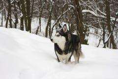 Łuskowatej śnieżnej zimy dzikiego psa piękny dumny zwierzęcy wilczy śnieżny wielki Zdjęcie Stock