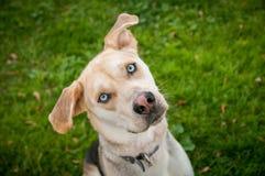 Łuskowaty Mutt Mieszający labradora trakenu pies z niebieskimi oczami Zdjęcia Stock