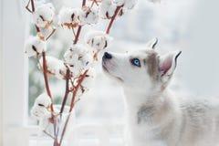 Łuskowaty szczeniak obwąchuje bawełniane gałąź Zdjęcia Stock