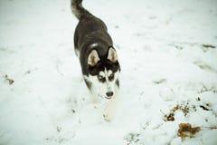 Łuskowaty szczeniaka pies na śniegu Fotografia Stock