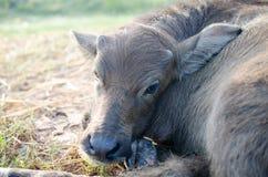 Łydka, bizon twarze zdjęcie stock