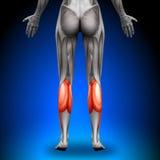 Łydki - Żeńscy anatomia mięśnie ilustracja wektor