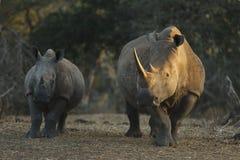 łydki macierzysty nosorożec biel Fotografia Stock