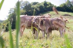 Łydki pasa w zielonych łąkach w słońcu na wiosna dniu, fotografia Selekcyjna ostrość zdjęcie stock