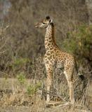 łydkowej żyrafy obszaru trawiasty strony trwanie widok Fotografia Stock