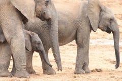 łydkowy afrykański słoń krowa. Fotografia Stock