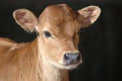 łydkowy bydła Zdjęcie Stock