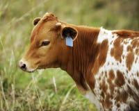 łydkowy longhorn Texas zdjęcia stock