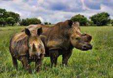 łydkowy mamy nosorożec biel Zdjęcia Royalty Free