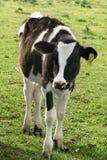 łydkowy mleczarni Zdjęcie Stock